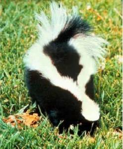 skunkbackload.jpg